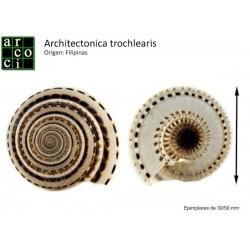 Architectonica trochlearis