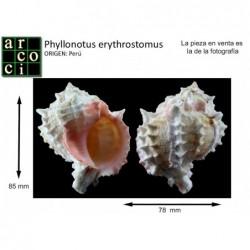 Phyllonotus erythrostomus