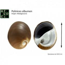 Polinices Albumen
