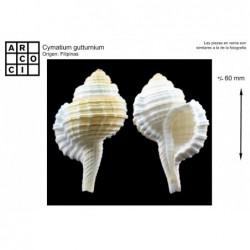 Cymatium gutturnium