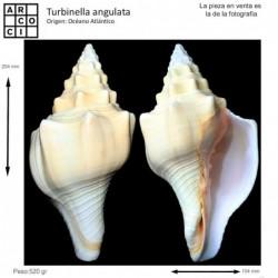 Turbinella angulata