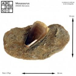 DIENTE DE MOSASAURUS
