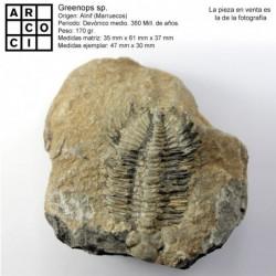 Greenops Sp.  trilobite