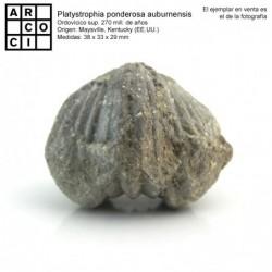Platystrophia ponderosa aubumensis
