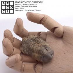 Diacalymene ouzregui trilobite