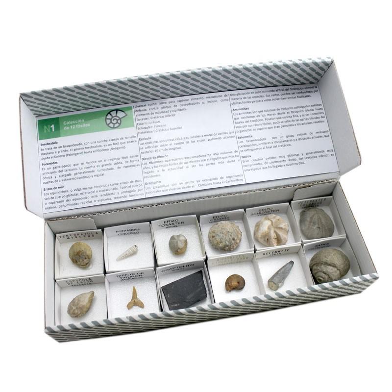 Colección de 12 fósiles