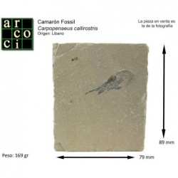 CARPOPENAEUS CALLIROSTRIS