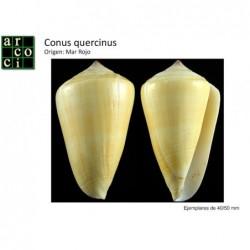 Conus quercinus