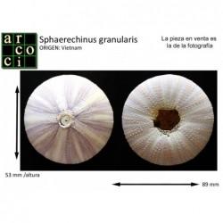 Sphaerechinus granularis