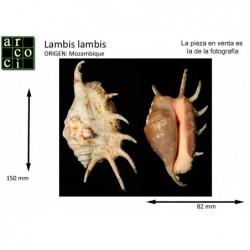 Lambis lambis
