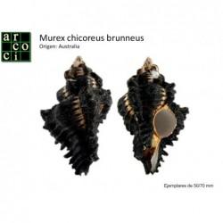 Murex chicoreus brunneus