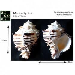 Murex nigritus