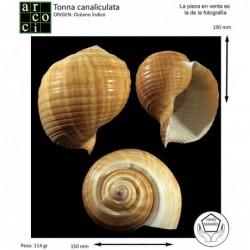 tonna-canaliculata