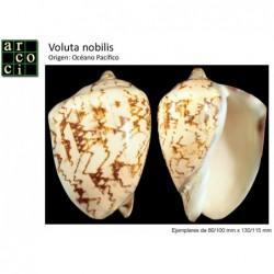 Voluta nobilis