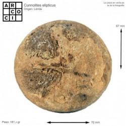 Cunnolites elipticus