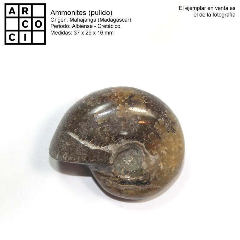 Ammonites (pulido)