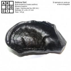 Ballena fósil (bulla timpánica)