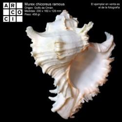 Murex chicoreus ramosus