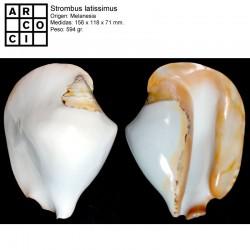 Strombus latissimus blanco