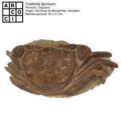 Coeloma taunicum