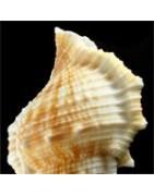 Bufonaria rana
