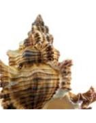 Murex chicoreus palmarosae