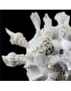 Xenophora pallidula